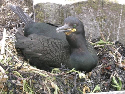Nesting Shag - Inner Farne may 2008