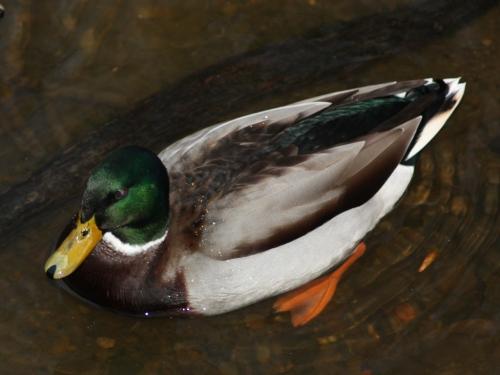 leven-ducks-1