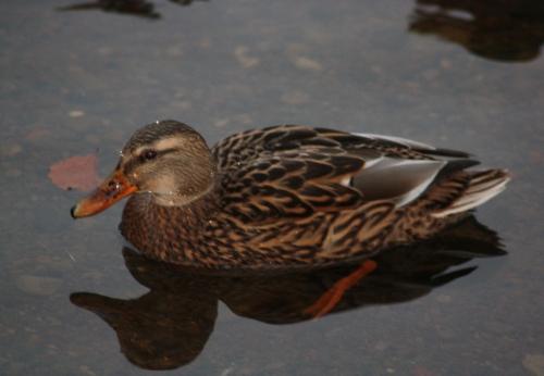 leven-ducks-2