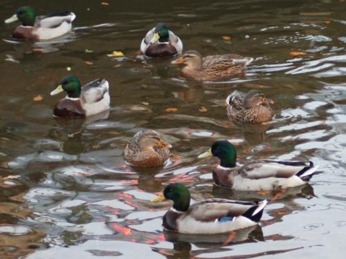leven-ducks