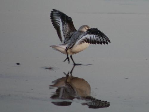 sanderling5
