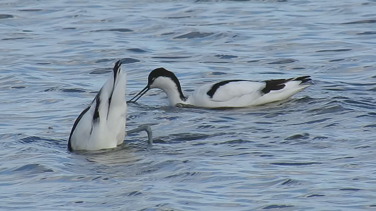 Avocets at Saltholme | This Insubstantial Pageant